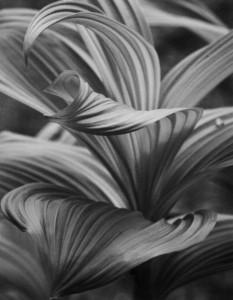 CHERRIE COREY Veratrum Pigmented print; 16.25 x 11 inches $275