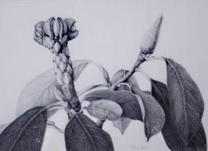 HELEN BYERS Magnolia caerhays: September Graphite; 11.5 x 8.5 inches $1500